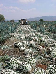 en el corte de las piñas, para elaborar el tequila, en Jalisco.