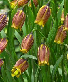 Fritillaria uva-vulpis -Guldkantad Klocklilja Produktbild