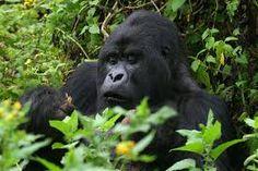 Gorilla #Leahcim #Raven #Jospin #UntilYouFindMe #Africa #AfricaLove #NewAdultBooks #College #BookLove #Gorillas #Conservation #RomanceBooks #RandomHouse #AmberHart #WeNeedDiverseBooks #UntamedSeries #RainForest