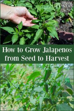 If you want to try growing jalapenos in your garden, these tips on how to grow jalapenos will guide you through the whole process. Everything from starting jalapeno seeds, planting jalapenos, caring for jalapeno plants, and picking jalapenos is covered. You will also learn how to grow jalapenos in containers.