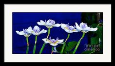 Sold - Dainty White Irises All In A Row