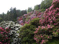 """La conca dei rododendri (2), Parco Burcina """"Felice Piacenza"""", Pollone (BI) – maggio"""