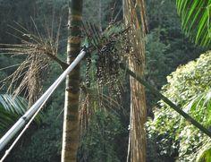 Moradores de Cajati colhem cachos com frutos maduros de palmeira juçara (Foto: Divulgação)