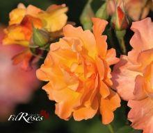 Westerland - KORDES 1969 Kordes Rosen, Roses, Flowers, Plants, Pink, Rose, Plant, Royal Icing Flowers, Flower
