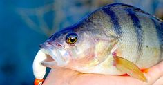 5 Top Rigs for Perch.
