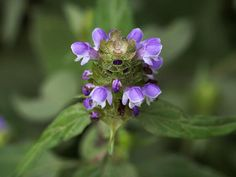 This is an exciting new addition!  Prunella vulgaris is known by many  common names, but most of them  reference this plant's traditional  use as a healer. A photogenic,  unobtrusive, mild-tasting perennial  mint that is loved by pollinators  and herbal t