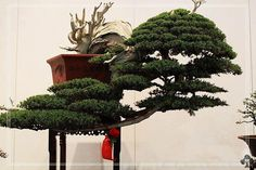 #Bonsai tree in Cascade style, by: Ndoro Meina Bysccall  See: www.bonsaiempire.com/bonsaioftheday