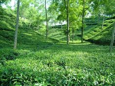 Sylhet,tea gardens.