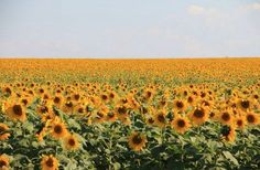 Bem vindo Setembro, seu lindo !!!  #girassol #primaverachegando #primavera @vicky_photos_infantis https://www.facebook.com/vickyphotosinfantis http://websta.me/n/vicky_photos_infantis https://www.pinterest.com/vickydfay https://www.flickr.com/vickyphotosinfantis