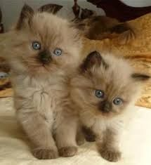 Adorable sepia mink colorpoint ragdoll kittens