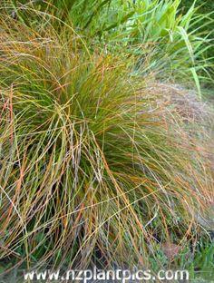 NZ plant pics - Carex testacea Ornamental Grasses, Native Plants, Gardening Tips, New Zealand, Native Gardens, Home And Garden, Herbs, Landscape, Landscaping Ideas