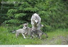 Wolf pups and father play at a zoo in Minnesota.