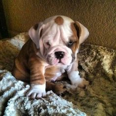 Grumpy bulldog puppy @Brittany Horton Brown @Denise H. Sundvold