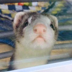Photo credit: Cynthia Sawyer.  Her daughter went out for a walk, and as she was coming back, she spotted their ferret Jude looking out the window for her.