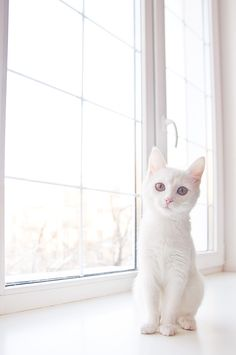 Beautiful white kitty