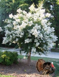 Natchez White Crape Myrtle Tree - Live Plant Shipped 1 to 2 Feet Tall by DAS Farms (No California) Garden Shrubs, Garden Trees, Landscaping Plants, Front Yard Landscaping, Crepe Myrtle Landscaping, Trees And Shrubs, Trees To Plant, Dwarf Flowering Trees, Crepe Myrtle Trees