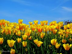 Yellow Tulips by srab44_2000, via Flickr