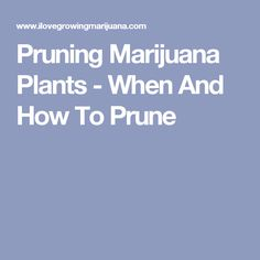 Pruning Marijuana Plants - When And How To Prune