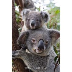 PHOTO OF THE DAY - Koala mother and ten-month-old joey, Queensland, Australia. This image is now for sale in our new online print shop specializing in nursery decor at www.babyanimalprints.com. #babyanimals #koalajoey #babykoala #safarinursery #nurserydecor #nurseryart #cuteanimals #australia