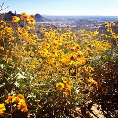 Wildflower on Telegraph Pass at South Mountain from @BrandyWelz