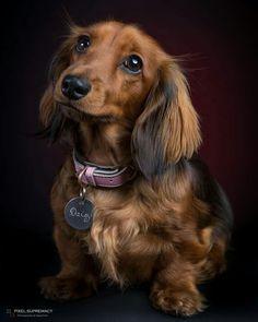 Dachshund Longhaire #dachshund Longhaired