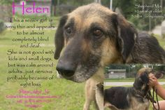 "BEYOND URGENT!!! E-LISTED FOR 8/11 @ NOON FIRM!!! Orangeburg, SC; ""Helen"" Terrified, Senior, Almost Completely Blind & Deaf GSD X **CODE RED** PLEASE HELP!!! NEEDS OUT IMMEDIATELY!!! $200 Sponsorship goes with this Sweetheart!   UPDATE 8/7 - The Shelter has agreed to give us an extension until 8/11, Monday at noon to get a firm commitment for this Sweetheart!!! Please we need someone to step up and step up now before it is too late!!!"
