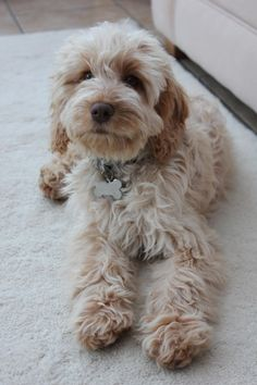 Stunning cockapoo GIRL READY NOW | Brigg, Lincolnshire | Pets4Homes