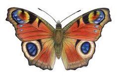 peacock butterfly - Google zoeken