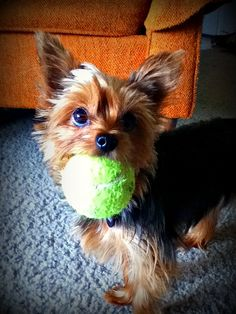Scarlett is a die-hard tennis ball fan... she wants to play fetch from the moment we wake up to the moment we go to bed. What a simple, yet fulfilling life she lives.
