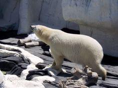 Polar Bear at Sea World in Southern California.