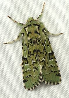 Such a beautiful, licheny green to this moth, known as The Joker (Feralia jocosa).