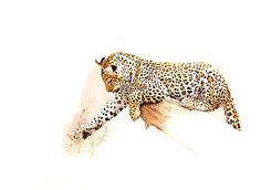 Watercolour Painting - Leopard - Discovering Thorns by sue dickinson