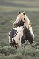 Pferde Wild horses sould keep wild. They're so stunning. All The Pretty Horses, Beautiful Horses, Animals Beautiful, Painted Horses, Horse Photos, Horse Pictures, Cheval Pie, Animals And Pets, Cute Animals