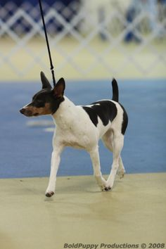 White Blue & Tan Piebald Rat Terrier