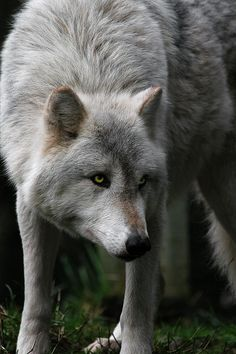 "Some people look at this magnificent animal and see evil, but when I look at the wolf I see the animal that ""man's best friend"" descended from. Wolves are beautiful animals that are misunderstood by the greater public. In truth, they are simply wonderful animals that deserve our respect and our protection."
