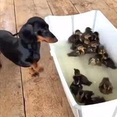 Funny Dachshund Video - Too funny- animals - Hunde Cute Puppy Videos, Funny Animal Videos, Cute Funny Animals, Cute Baby Animals, Videos Funny, Dachshund Funny, Dachshund Puppies, Funny Dogs, Cute Dogs