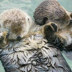sea otters holding hands while sleeping so they don't get separated at night. have you seen anything sweeter?