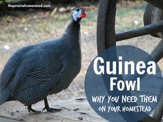 Why you need guinea fowl on YOUR homestead!