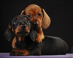 two baby Doxies hugging