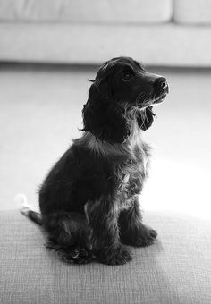 springer spaniel puppy in black and white
