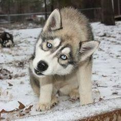 Siberian Husky puppy #SiberianHusky