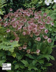 Astrantia major Roma®