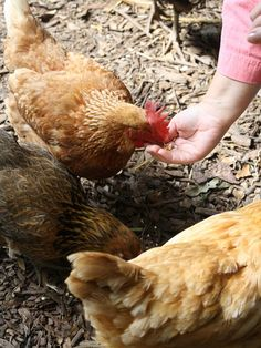 Friendly chickens that will eat out of your hand... very rare.