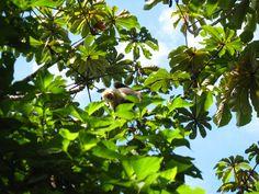 Capuchin monkey Monteverde, Costa Rica | photo by Gina Bang, Avanti Destinations