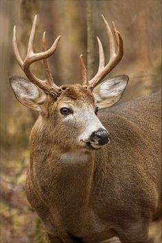 Deer by Daniel Cadieux