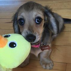 Ducky got my eyes 😍👀❤️🐾🐶😘 very cute @heiditheminidoxie #dachshund…