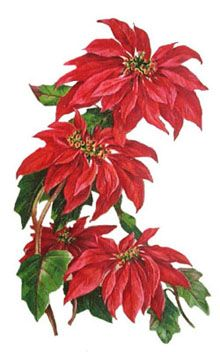 a89ab0822 439 Best CHRISTMAS POINSETTIA images in 2018 | Christmas poinsettia ...