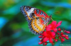 Male Leopard lacewing