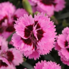 Everlast Lilac + Eye Dianthus