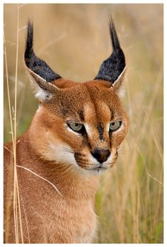 Eyes like a lynx . from ° ART appropriate ° Best Picture For felinette For Your Taste You are look Small Wild Cats, Big Cats, Cool Cats, Rare Cats, Exotic Cats, Nature Animals, Animals And Pets, Cute Animals, Caracal Kittens
